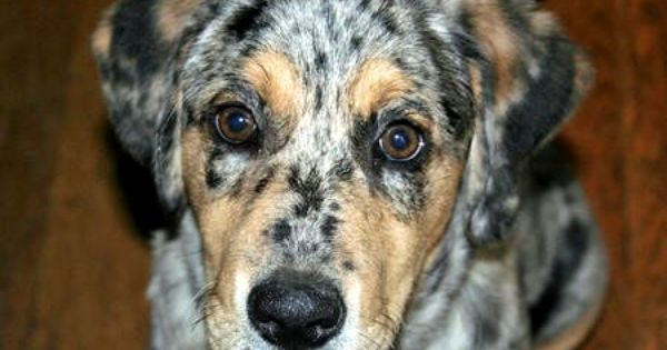 Black Golden Retriever Australian Shepherd Mix Photo Australian