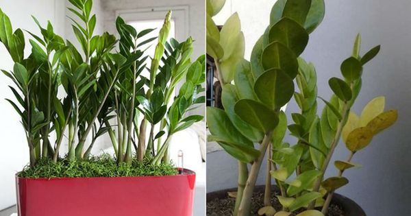 How To Care For Yellow Leaves On A Zz Plant Zamioculcas Zamiifolia World Of Succulents Yellow Leaves On Plants Plants Plant Leaves Turning Yellow