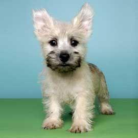 Carin Terrier Breed Info Justpuppies Net Carin Terrier Puppies
