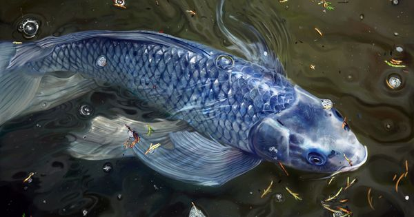 Blue koi digital painting by rosane for Real blue koi fish