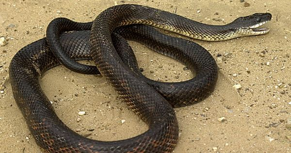how to kill mice for snake food