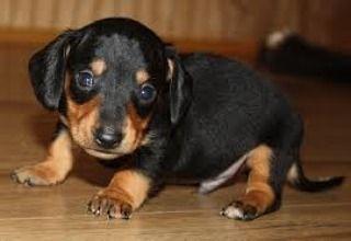 Cuteness Alert For This Little Pup Dachshund Puppy Miniature