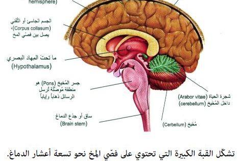 Pin By Pinkoo Kitty On أسماء أجزاء جسم الإنسان Brain Stem Jau