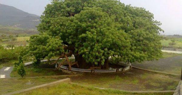شجرة الغريب تعز Algrayb Tree Taiz Yemen Madre Terra