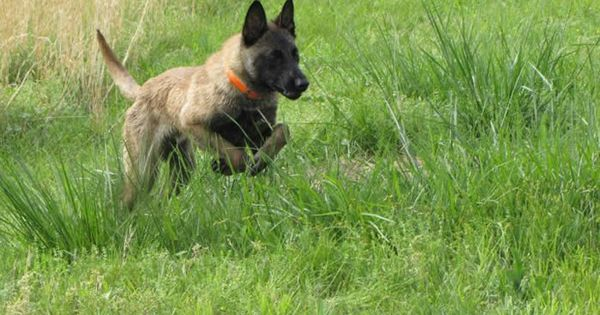 Belgian Malinois Vs Dutch Shepherd  Von Fulk German Shepherds