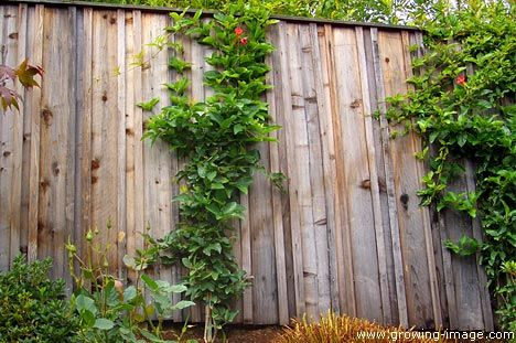 Board And Batten Fence Supporting Climbing Trumpet Vine