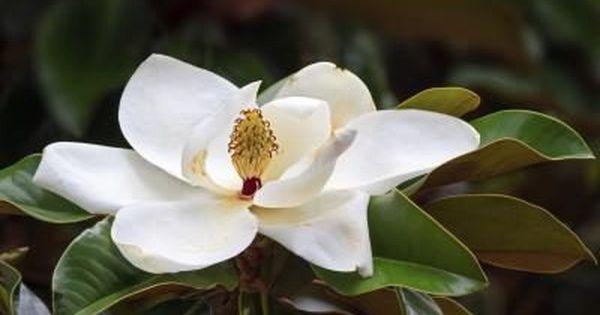 Healthfully Magnolia Tree Types Magnolia Trees Magnolia Flower