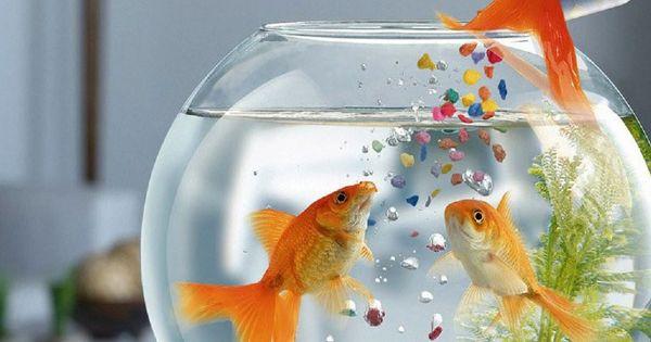 Sooooooo can goldfish live in a bowl goldfish bowl for What fish can live with goldfish in a pond
