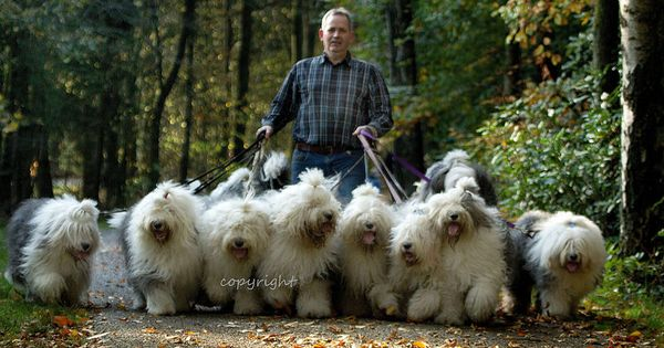 who let the dogs out....? www.dewollewei.com | BEARDED & OLD ENGLISH ...