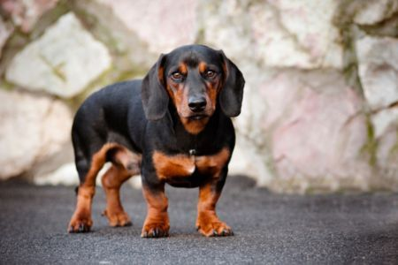 Small Dogs That Don T Shed Dog Breeds Dog Breeds Medium Best Small Dog Breeds