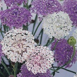 Didiscus Caeruleus Lacy Series Lace Flower Mixed Norfolk Cottage Garden Cottage Garden Plants Cottage Garden Foxglove Plant