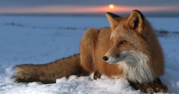 life goal: to get a pet fox