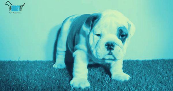 Pin By Newdoggy On Newdoggy Videos Puppies Labrador Retriever