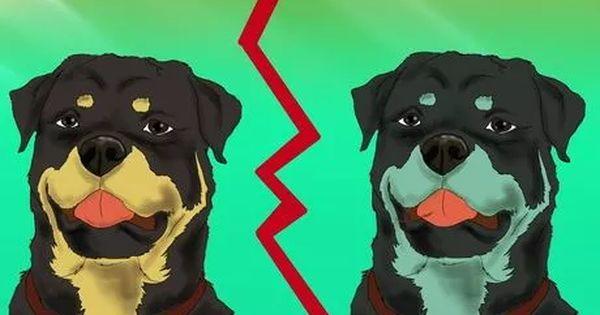 Identify A Rottweiler Rottweiler Rottweiler Facts Rottweiler Dog