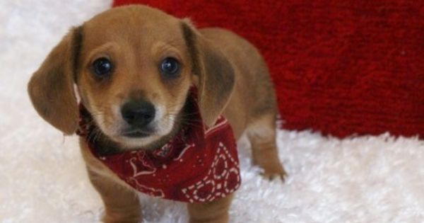 Pin By Arinehart1 On Cute Creatures Dachshund Puppy Miniature Dachshund Puppies Dachshund Puppies For Sale