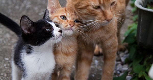 2 orange cats and black and white friend