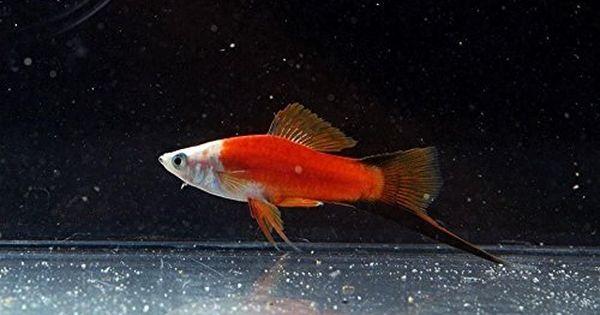 3 Red Panda Swordtail Swordtail Fish Tropical Fish Aquarium Fish