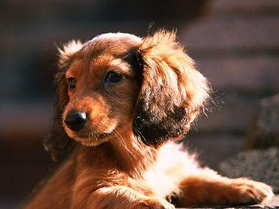 ミニチュア ダックスの年齢加算表 可愛いワンちゃん 犬 壁紙 ウインナードッグ