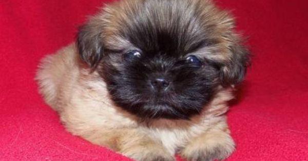 Precious Puppies Precious Shih Tzu Puppies For Sale In Cleveland Texas Classified Shih Tzu Puppy Puppies Shih Tzu
