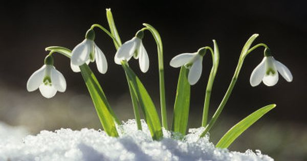 Pin By Natapat On Flowers Snowdrop Plant Flowers Plants