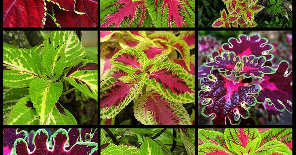 Coleus ... LOVE. Coleus add such great color and texture to planters