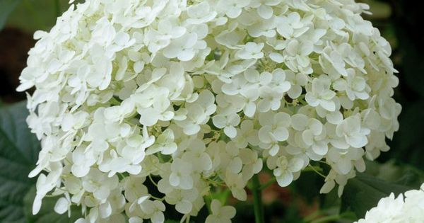 hortensie pflege hydrangea arborescens annabelle. Black Bedroom Furniture Sets. Home Design Ideas