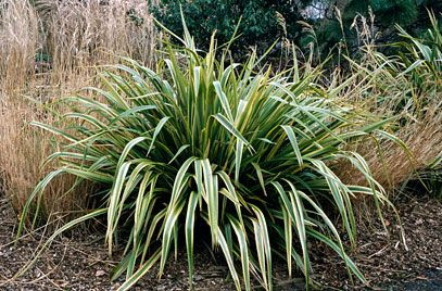 Phormium Duet No Not Like New Zealand Flax Plants Landscaping Plants