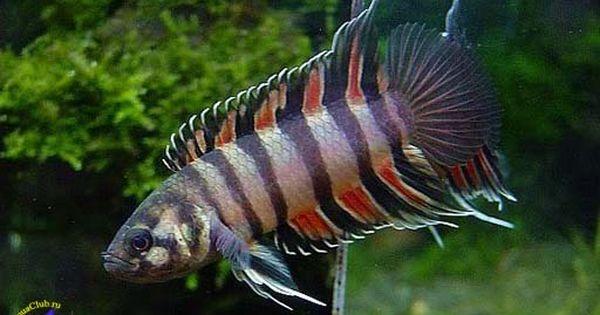 Freshwater fish, The aquarium and Aquarium on Pinterest