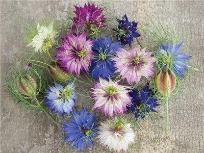 Miss Jekyll Mix Love In A Mist Flower Seeds Heirloom Seeds Annual Flowers