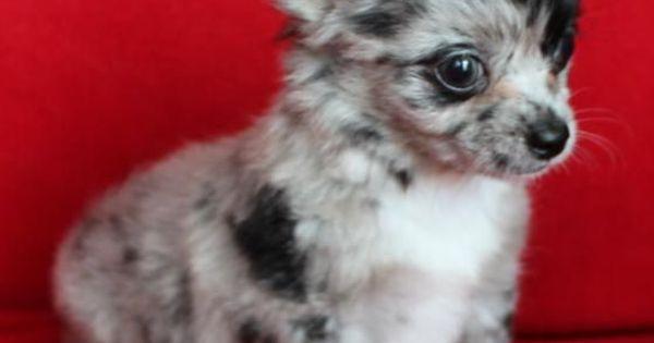 Long-Hair Merle Chihuahua - its a Molly Jack baby!