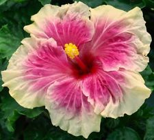 Pink Parasol Tropical Hibiscus Plant In 4 5 Pot With Images