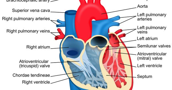 Heart diagram with labels in English. Blue components ...