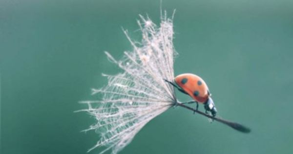 Ladybug sailing, a perfectly timed photo