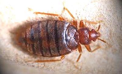 What Do Bed Bug Look Like
