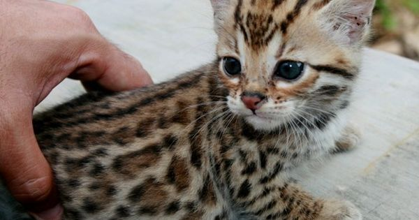 .baby savannah cat... Adorable!