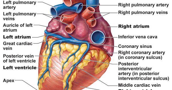Heart Posterior Artery Amp Veins A Amp P Pinterest Heart