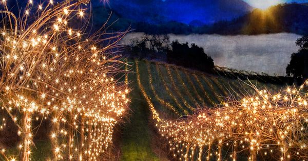 Vineyard Christmas Lights