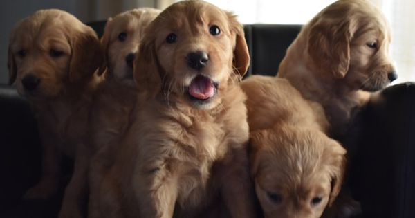 Litter Of 6 Golden Retriever Puppies For Sale In Stockton Ca Adn