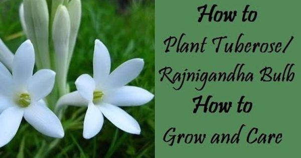 332 How To Grow N Care Rajnigandha Tuberose Full Information Hindi Urdu 10 3 17 Youtube Flower Care Plant Tags Care