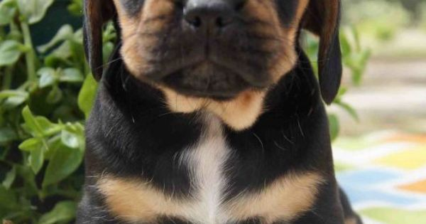 Black and Tan Puggle Puppy Photos | animals to cuddle with ...