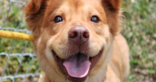 Buster Is A Welsh Corgi Chow Chow Mix He Is Three Years Old And Is Up For Adoption With Our Partners At Palm Beach County An Animals Corgi Chow Mix