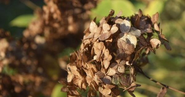 Should You Deadhead Hydrangeas Learn When To Deadhead Hydrangeas Hydrangea Care Hydrangea Not Blooming Planting Hydrangeas