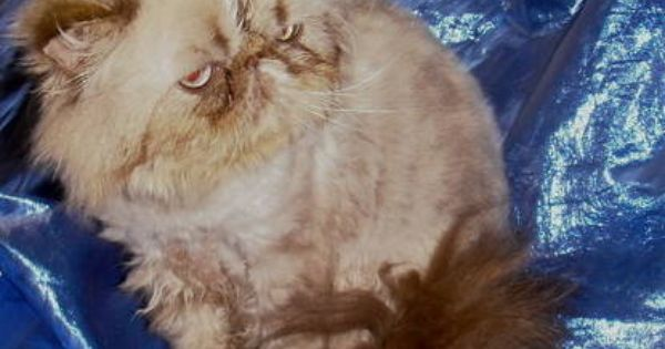 Seal Lynx Himalayan Male Cat Cats Cats And Kittens Kittens