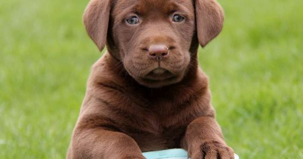 Pitbull Mixed With Chocolate Lab Mycutedog Xyz Lab Mix Puppies Chocolate Lab Puppies Cute Baby Puppies