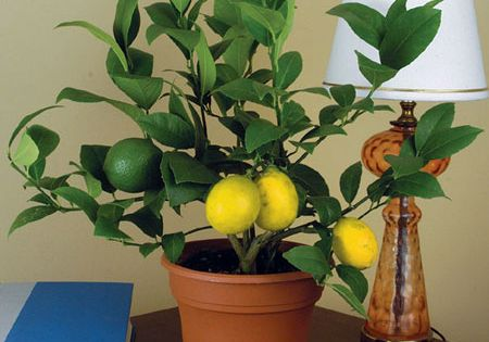 Dwarf Meyer Lemon trees are hardy, fragrant plants that grow well as