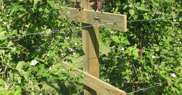 Thornless BlackBerry Trellis | This is our trellis system ...