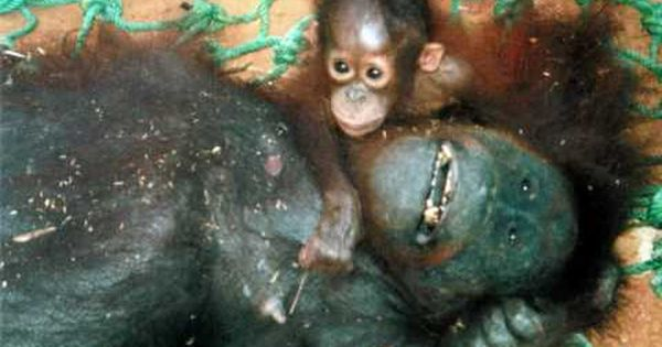 Image result for mangled orangutan from non-caring Palm Tree industries