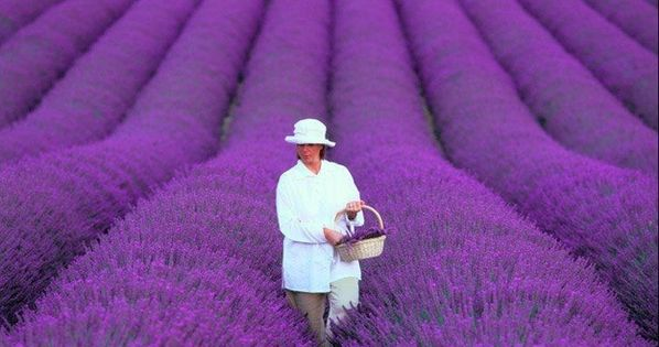 Lavender fields, Provence, France I would LOVE to see this!!! Add to