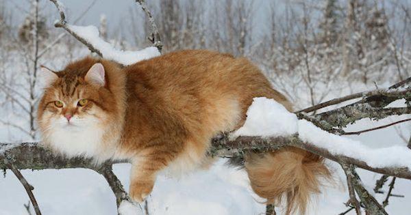 Siberian Snow Cat Siberian Cat Gorgeous Cats Winter Cat