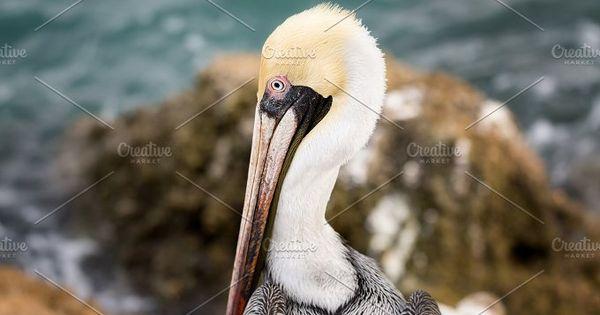 A close-up color image of a brown pelican. Florida, USA.